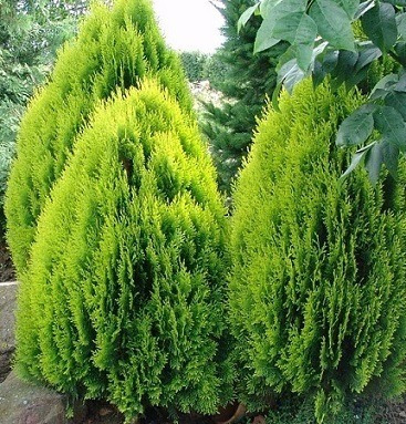 thuja orientalis en 4 lts cerco vivo  envios y plantacion