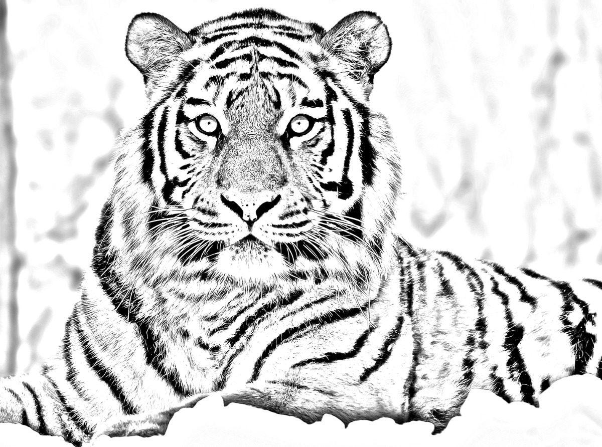 Tigre Bastidor Para Pintar En Lienzo 80x60 Algodòn