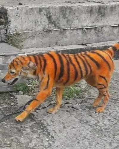 tigre domesticado, muito dócil....