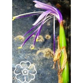 Tillandsia Pfisteri Bromélia Adulta