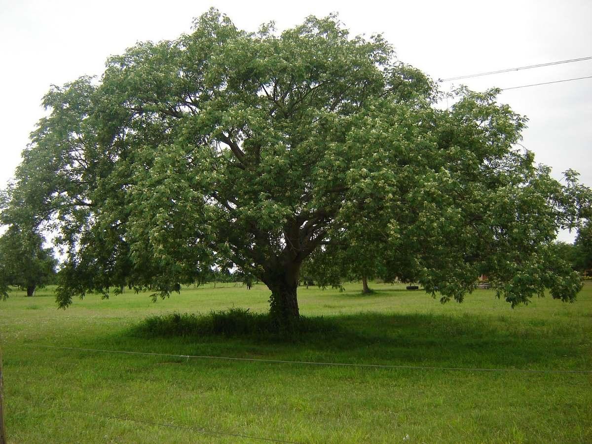 Timb pacar rbol nativo de 2 5 metros 892 50 en for Vivero las magnolias