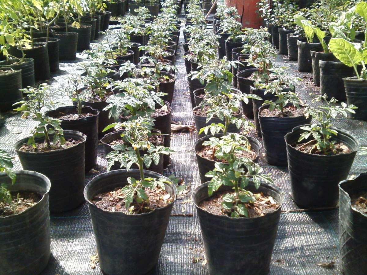 Macetas para tomates free blanco tomate semillas vegetales orgnicos semillas de tomate en - Tomates cherry en maceta ...