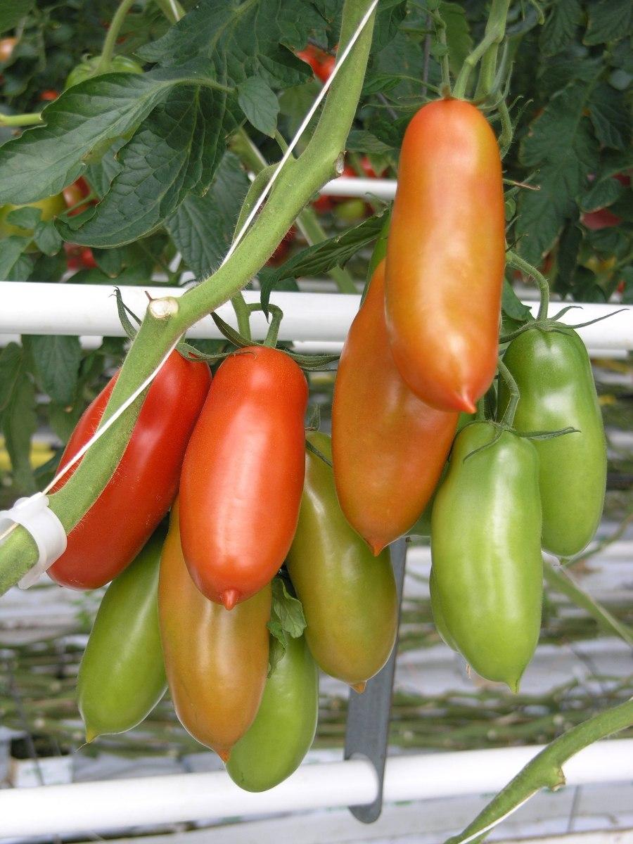 tomate italiano san marzano 100 sementes para mudas r 7. Black Bedroom Furniture Sets. Home Design Ideas
