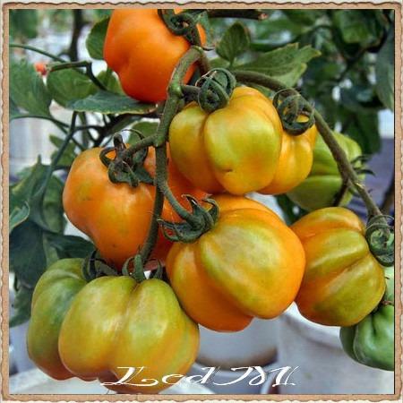 tomate yellow stuffer, 30 semillas