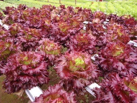 top alface rubinella 200 sementes peletizadas hidroponia gn