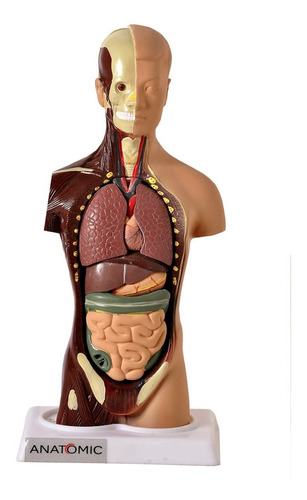 torso assexuado 28 cm 14 partes modelo anatômico - anatômia