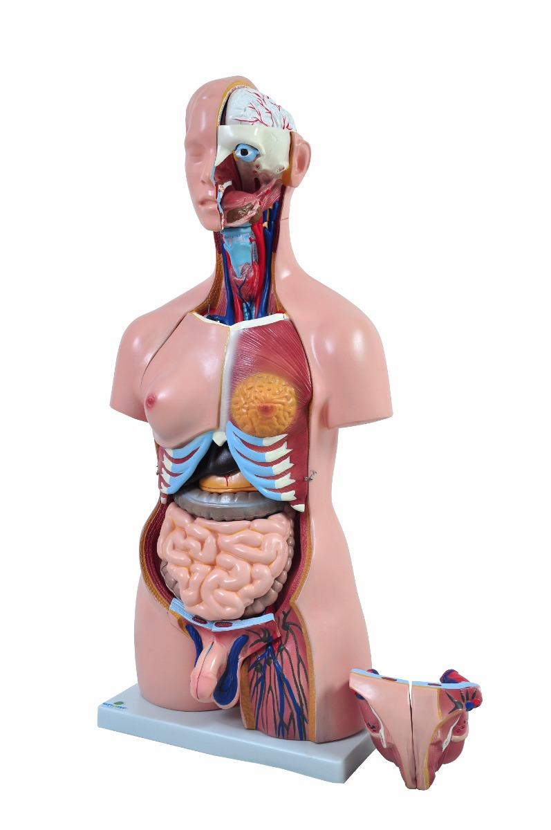 Torso Humano 85cm E 24 Partes Bissexual Anatomia Humana - R$ 1.199 ...