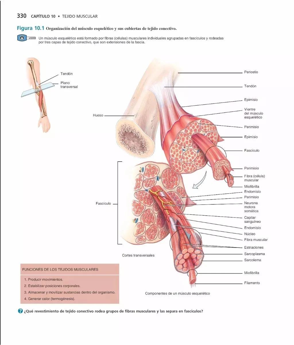 Vistoso Tejido Imágenes Anatomía Y Fisiología Festooning - Anatomía ...