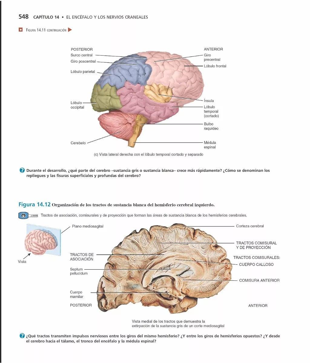 Perfecto Anatomía Lóbulo Frontal Friso - Imágenes de Anatomía Humana ...