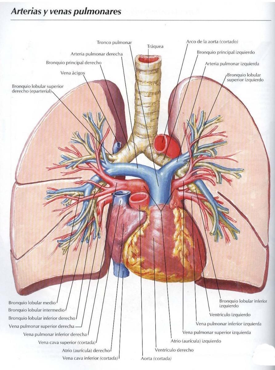 Asombroso Anatomía Bronquio Intermedio Elaboración - Anatomía de Las ...