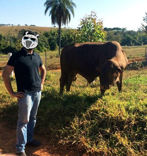 touro senepol po registrado