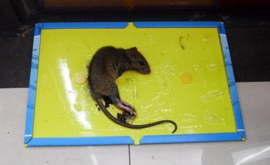 Trampa de pega para ratas y ratones pegamento fumigacion bs 1 00 en mercado libre - Trampas de ratones ...