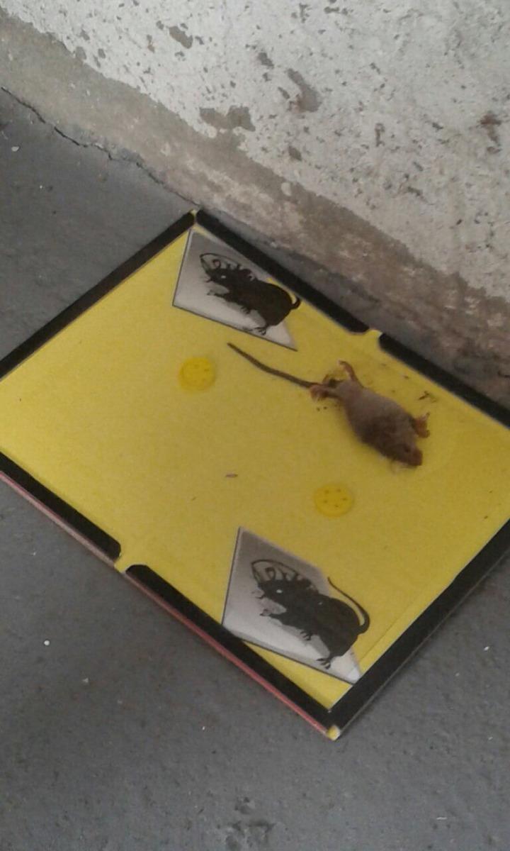 Trampa para ratas y ratones sin veneno 100 00 en mercado libre - Trampas de ratones ...