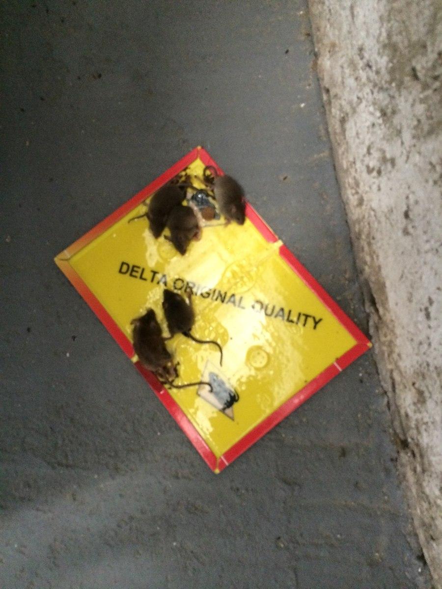 Trampa para ratas y ratones sin veneno 100 00 en - El mejor veneno para ratones ...