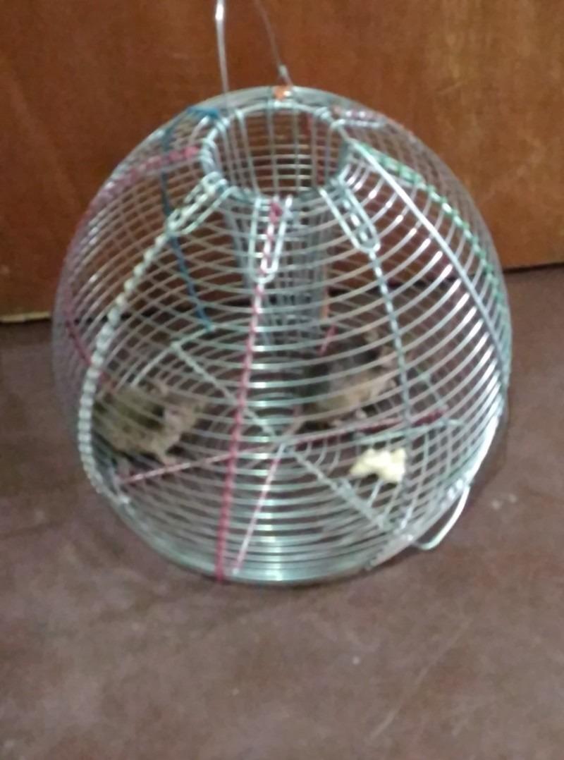 Trampas para ratas de campo trampas para ratas de campo - Trampas para ratas grandes ...