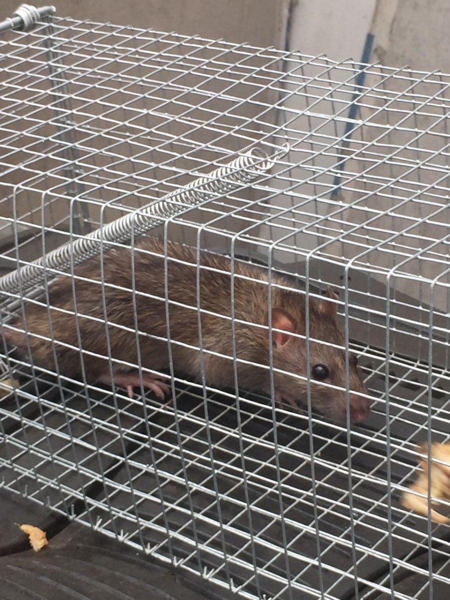 Como cazar una rata finest d prestado ilustracin del gato cazando rata foto de with como cazar - Como cazar ratones ...