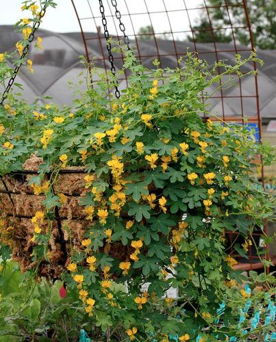 trepadeira canary bird tropaeolum - sementes flor para mudas