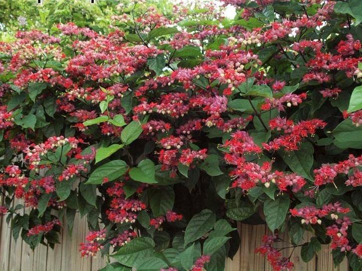Trepadeira cora o sangrento lindas mudas r 28 00 for Lista de plantas de sombra
