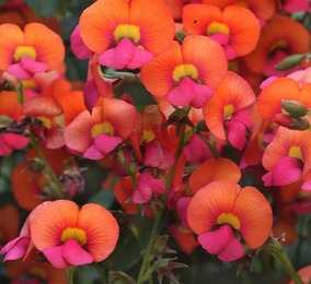3ee802c007 Sementes De Flores Coloridas Orquideas no Mercado Livre Brasil