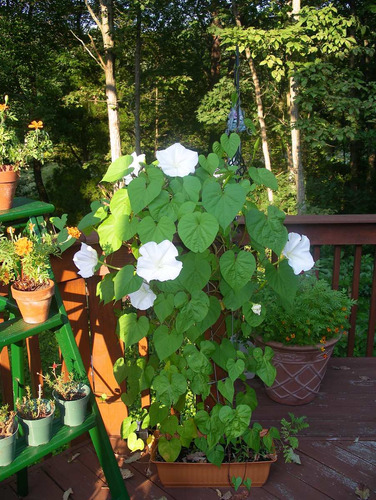 trepadeira ipomoea moonflower alba dama noite sementes flor
