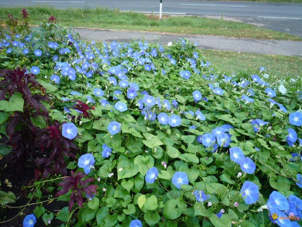 Trepadeira ipomoea purpurea ipomeia sementes flor pra for Ipomea purpurea
