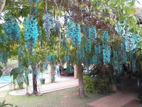 Trepadeira Jade Azul ( Strongylodon Macrobotrys ) 50 A