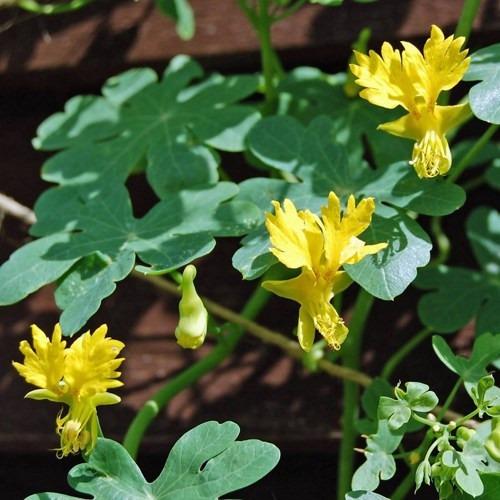 trepadeira pássaro canary bird vine tropaeolum sementes flor