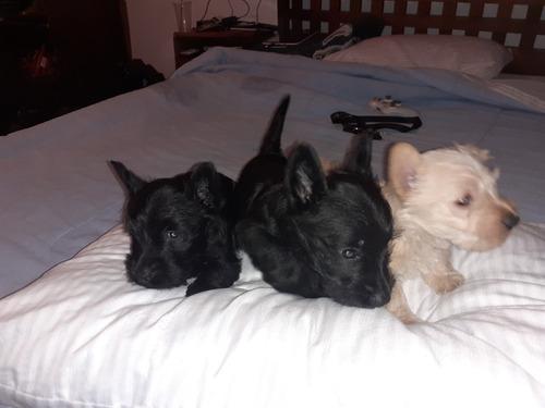 tres hermosas perritas terrier escoces