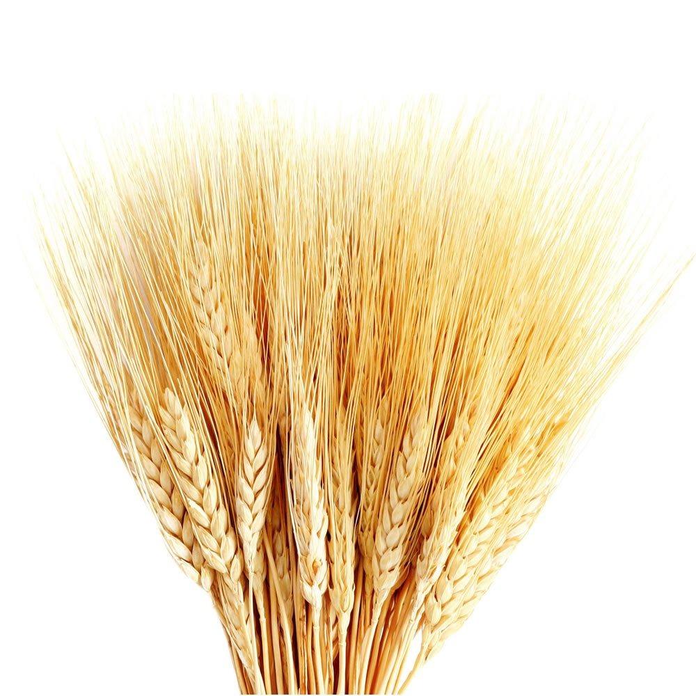 trigo seco decorativo maço alvejado com 50 hastes r 19 91 em