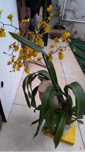 tronquinhos de café para orquídeas kit com 20 unid.