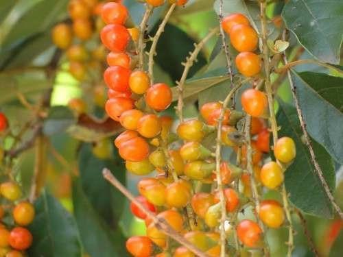 tucaneiro citharexylum atrai passaros sementes frete grátis