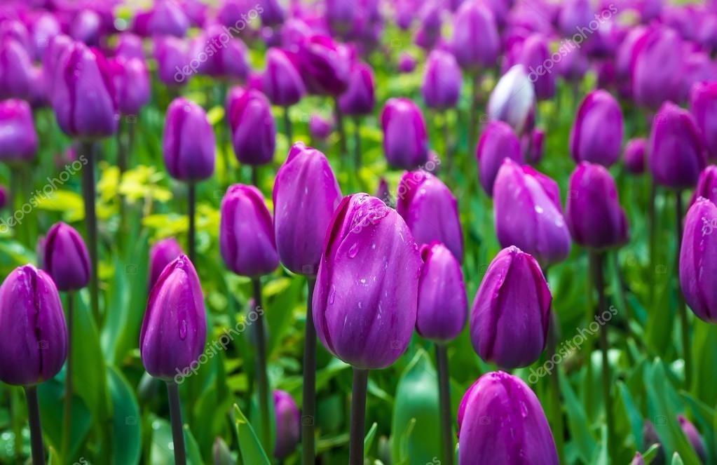 Resultado de imagem para tulipa roxa