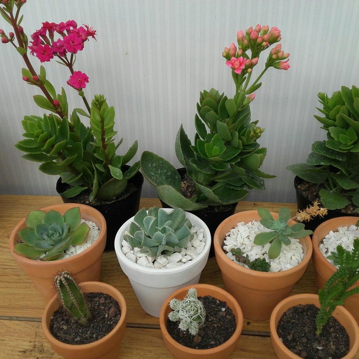 Tunas cactus suculentas de coleccion 50 00 en mercado for Cactaceas y suculentas