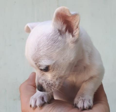 ultimo cachorro chihuahua toy blanco de pedigree