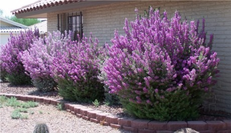 labio arbusto