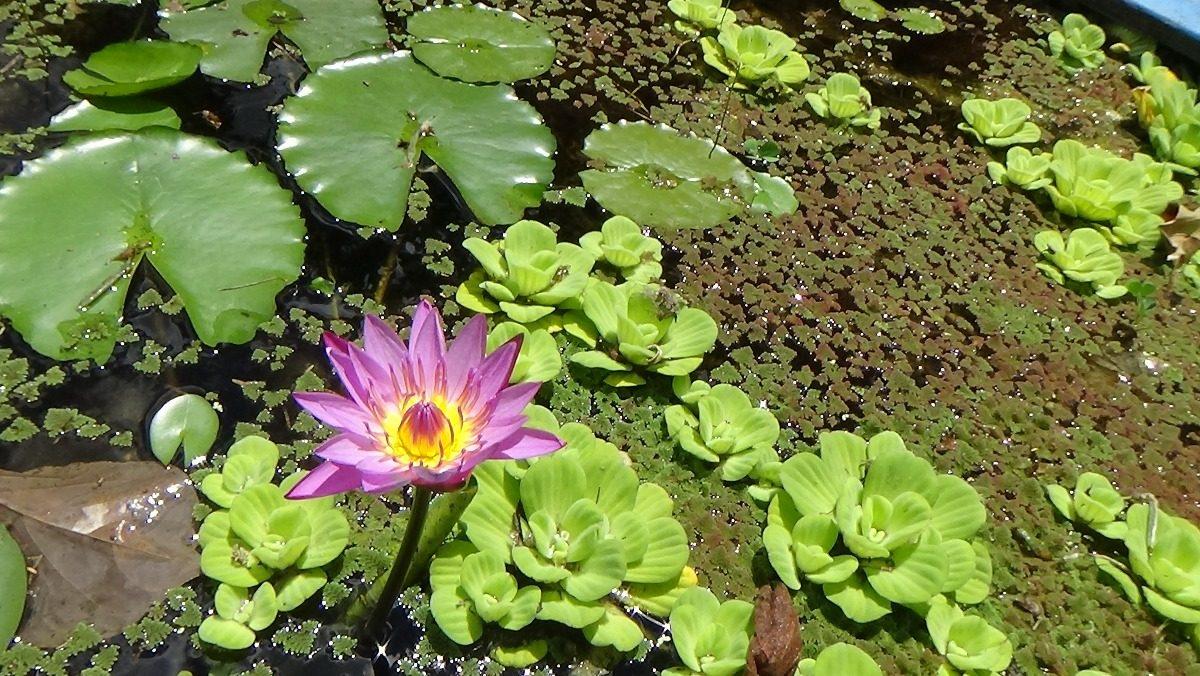 Una planta de estanque lago nenufar o loto sin envio for Plantas estanque