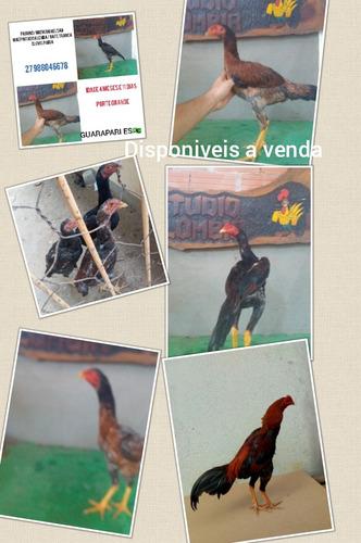 venda de frangos e galos testados