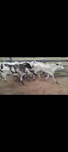 venda e compra de bovinos