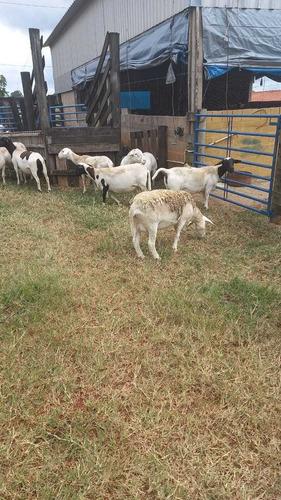 venda e consultoria em ovinocultura