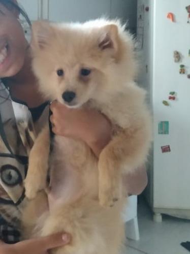 vende-se cachorro da raça sptiz alemão  filhote