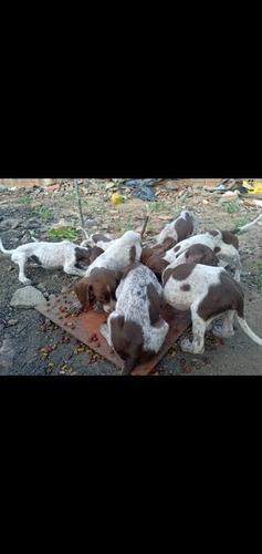 vende-se cachorro perdigueiro