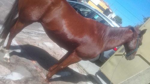 vende se cavalo quarto de milha