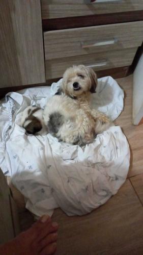 vende-se esse lindo cachorrinho raça shihtzu com 1 mês