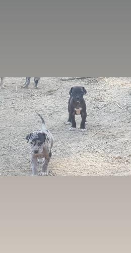 vende-se filhote de dog alemão débito cred 12x