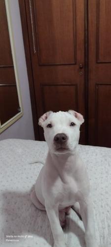 vende-se filhote de pitbull