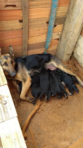vende se filhotes de cachorro, rasa pastor alemão.