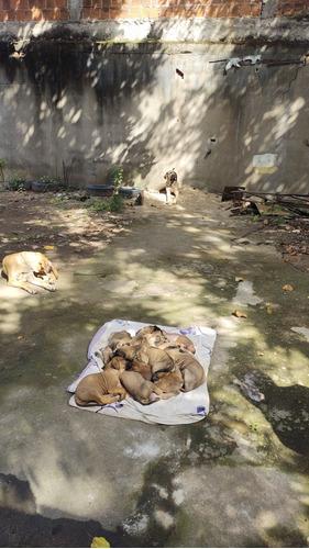 vende-se filhotes de fila brasileiro