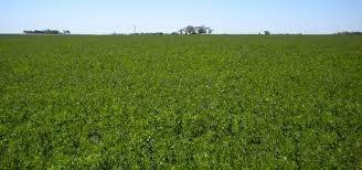 vendo 40 hectareas de alfalfa