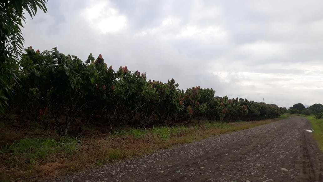 vendo 5 cuadras de finca de cacao con regio en mata de cacao