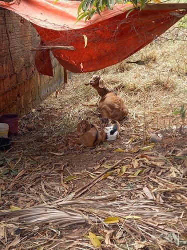 vendo cabra c/2 filhotes barato ou troco em algo do meu inte